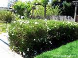 potato vine hedge house plans garden ideas pinterest