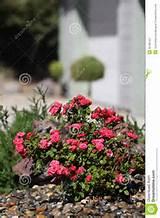miniature rose bush front yard landscape roses front house 32186122