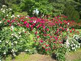 Climbing Roses | Garden Stuff and Backyard ideas | Pinterest