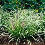 lily turf flowery gardens muscari silvery deep shade plants