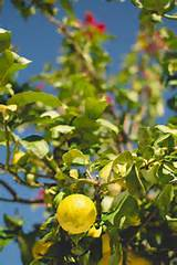 lemon tree b l o g pinterest