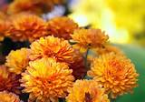 fall flowers chrysanthemum fall gardening tips