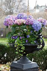 Spring container garden - blue & pink hydrangeas, purple pansies, ivy ...