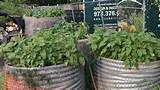 container-gardening-callaloo