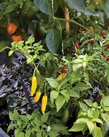 and hot lemon chiles and purple leaved peppers make a colorful mix