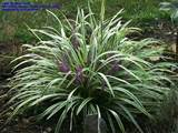 PlantFiles Pictures: Variegated Lily Turf, Lilyturf, Monkey Grass ...