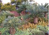... Drought Resistant Landscape with Cycad Plants and Succulent Plant