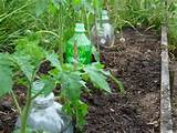 gardens ideas plastic bottle water plants bottle drip tomatoes