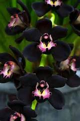 black orchids gardening flowers designs pinterest