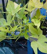 container gardening sweet potato vine container garden ideas