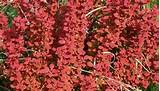Orange Rocket berberis. This plant really glows in spring and fall. It ...