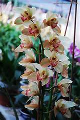 cymbidiums beautiful orchids pinterest