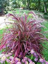 Pennisetum setaceum) Purple fountain grass perennial hardiness zones 8 ...