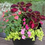 Shade Container of 'Kong Red' Coleus with Pink and Salmon ...