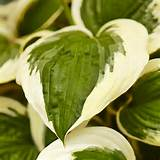 variegated hostas offer a dependable supply of season long color in