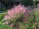 -Muhly (sun/ part shade)Gardens Ideas, Landscapes Ideas, Austin Texas ...