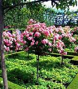 climbing flower combinations roses on standard provide the height of