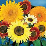 van gogh mix from park seed flowers pinterest
