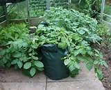 container gardening potato vine container garden ideas