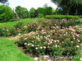... Rhododendron Gardens: Rose Garden Design Legend Map: Name That Rose