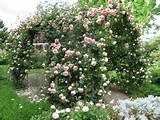 climbing roses cut rose arch climbing rose garden ideas