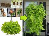sweet potato vine garden pinterest