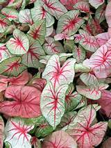 Caladium. | garden ideas | Pinterest