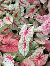 caladium garden ideas pinterest