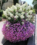 ... hydrangea is no joke most panicle hydrangeas also known as peegee
