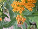 butterfly weed gardening ideas pinterest