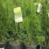Emerald Green' arborvitaes grow into tidy columns of living ...