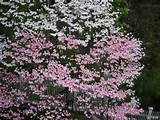 grafted pink and white dogwood garden ideas pinterest