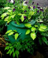 miniature hostas in containers brings them up to eye level here are