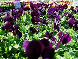 beloved traditional pansies fall 2013