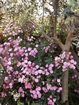 beautiful miniature rose beautiful garden ideas pinterest
