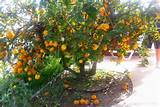 Pin by See Thao on Lovely Lemony Lemons and Lemon Trees | Pinterest