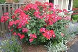 ... Yard Landscaping With Knockout Roses | Small Yard Landscaping Ideas