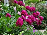 gardening-peonies-fall-planting-tips-flowers-gardening.jpg?size ...
