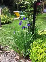 iris sibirica garden ideas pinterest