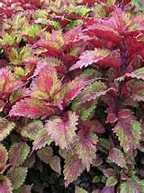 budget coleus indian summer use cuttings instead of buying more plants