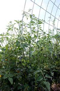 of wimpy tomato cages? Check out these homemade tomato trellis ideas ...