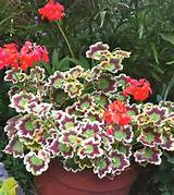 ... > Container Gardening > Shade Flowers For Container Gardening Ideas