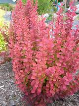 berberis thunbergii orange rocket berberis thunbergii golden rocket ...