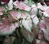 Peppermint Caladium | Garden ideas | Pinterest