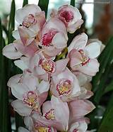 Cymbidium | Cymbidium orchids displayed at the City-flower garden in ...