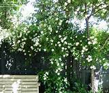 alister stella gray climbing rose landscaping ideas pinterest