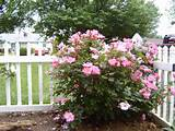 Design Ideas With Knockout Roses , Knock Out Rose , Hedges, Shrub ...