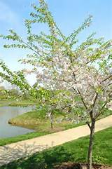 university of illinois arboretum new cherry trees enhance the