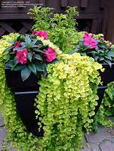 Container Flower Gardening Ideas. Lots of different flower combos ...