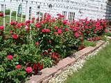 knockout rose garden designs Car Tuning